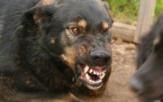 Знакомимся со сторожевыми псами
