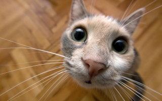 Как определить принадлежность кошки к той или иной породе?