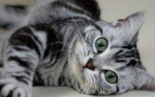 Знакомимся с некоторыми породами короткошерстных кошек