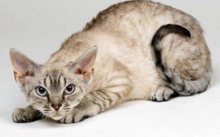 Кошки породы Девон рекс – очаровательные пушистики с внешностью эльфов