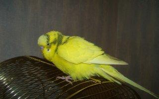 Что делать при воспалении зоба у волнистого попугайчика?