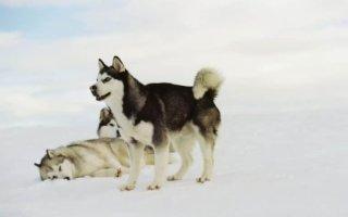 Сахалинские хаски: почему исчезла древнейшая порода ездовых собак?