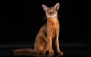 Сомалийская кошка или просто красавица Сомали