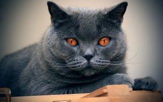 Все о голубой француженке – кошке породы Шартрез