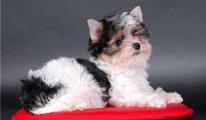 Обзор породы собак Йоркширский терьер: стандарт, особенности ухода, фото питомцев