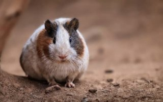 Знакомьтесь: Guinea pig или просто Морская свинка
