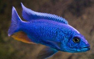 Хаплохромисы в домашнем аквариуме: виды и уход