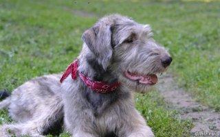 Каких собак мы называем Волкодавами?