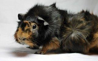Роскошные и оригинальные розеточные морские свинки