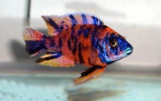 Красавица Аулонкара – рыбка с интересным поведением