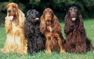 Знакомимся – охотничья собака породы Английский кокер спаниель