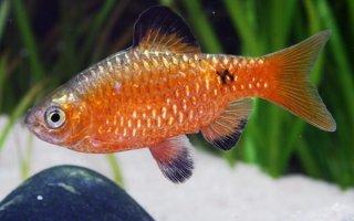 Рыбка-огонь размером с ладонь – барбус огненный