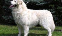 Подробная характеристика породы собак Тайский риджбек, уход и фото питомцев
