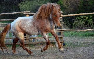 Пегие и чалые лошадки – какого они цвета?