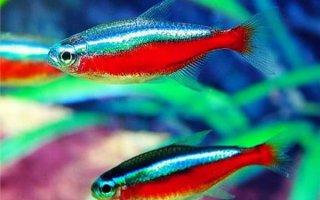 Рыбки неоны – увлекут вас в мир фантазий