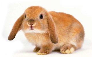 Декоративный кролик дома – знакомимся с Карликовой породой