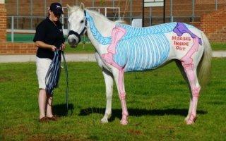 Анатомия, строение и особенности лошади и пони