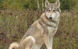 Волчья собака Сарлоса – сочетание внешности и интеллекта волка и послушания овчарки