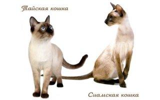 Учимся отличать сиамскую и тайскую кошку