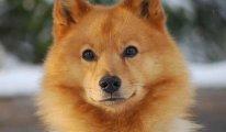Описание породы собак Лайка, классификая, фото питомцев и отзывы владельцев