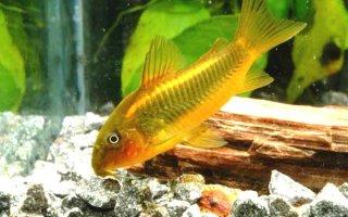 Интересный обитатель аквариума – золотистый или бронзовый сомик