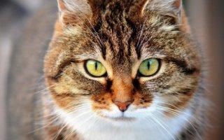 Как снизить половое влечение с помощью антисекс для кошек?
