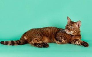 «Игрушечные тигры» в домашних условиях – кошки породы Тойгер