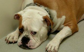 Лечение пиодермии у собак: не дай погибнуть питомцу!
