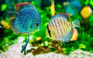 Гости из далекой Амазонки в домашнем аквариуме – Дискусы