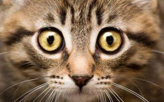 Что делать, если у кошки начали слезиться глазки?