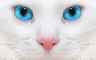 Белоснежный британский красавец: все о данном окрасе породы