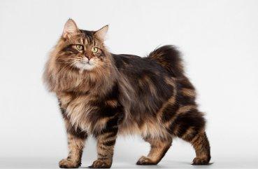 камчатский бобтейл кошка