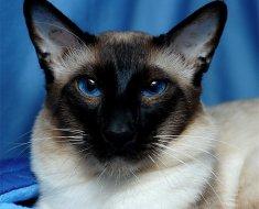 Балинезийская кошка во всей грации и красе
