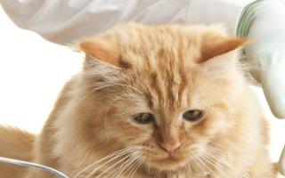 Пиометра у кошки: чем помочь питомице?