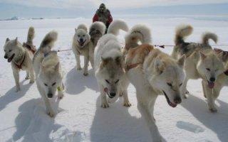 Все о лучших друзьях полярников – Гренландских собаках