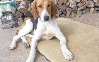 Знаменитый отечественный охотник – знакомимся с Русской пегой гончей собакой