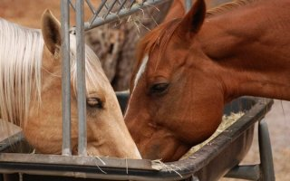Питание лошадей: из чего состоит рацион скакунов