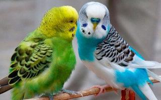 Какие болезни подстерегают волнистых попугайчиков?