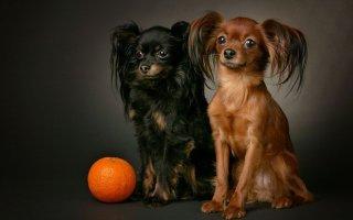 Кто они – забавные миниатюрные собачки породы Русский той терьер?
