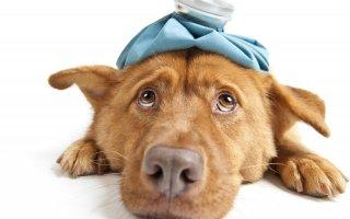 Как помочь собаке, когда у нее завелись власоеды?