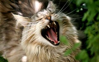 Как определить стоматит у кошки и вылечить его?