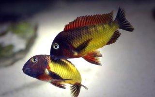 Символ озера Танганьика – рыбка трофеус