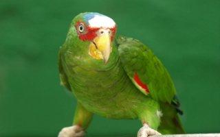 Крупные и нарядные попугаи Амазон
