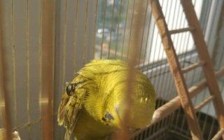 Шишка на крыле у попугая