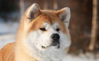 Знакомимся с дружной семьей собак японских пород