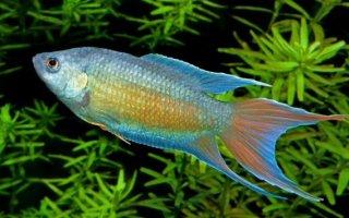 Самые распространенные виды лабиринтовых рыбок