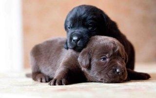 Как определить пол щенка?