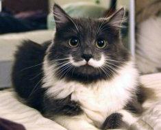 Кот с интересным окрасом щечек