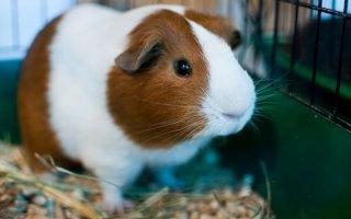 Дельные советы по содержанию морской свинки и уходу за ней