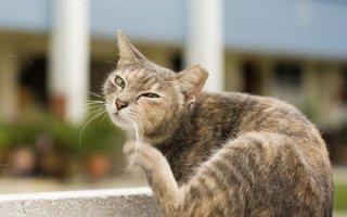 Кошачья чесотка: как защитить любимицу?